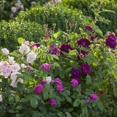 Highly Scented Rose Collection
