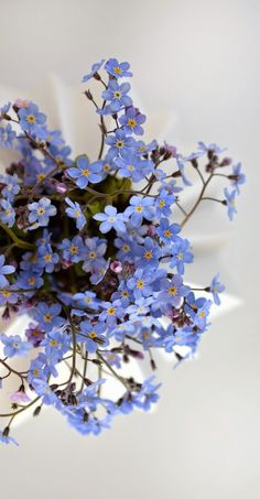Forget-me-nots - Flowers - Blue