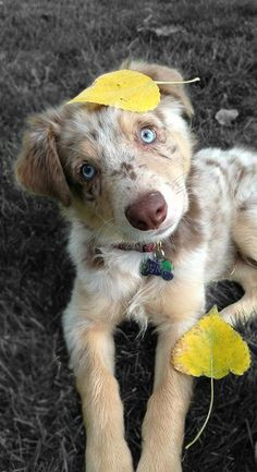 Australian Shepherd omg that face though! I wanna smoosh it and kiss it and love it!