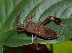 Leaf-footed bug-though not as stunning, still interesting.