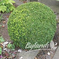 The #Calgary #Boxwood comes from Calgary and the initial plant was located near the zoo. Our #plants come from this initial plant. This boxwood has done has very well for many years. It is far more likely to survive than other boxwood varieties in colder climates.   We recommend that if you do decide to plant this boxwood that you plant it in an area that is somewhat protected and put some mulch over it for the winter. Read more here…