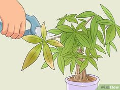 Image titled Care for a Money Tree Step 9 art design landspacing to plant Money Tree Plant Care, House Plant Care, Tree Care, Money Tree Bonsai, Money Trees, Bonsai Trees, Hanging Plants, Indoor Plants, Indoor Trees