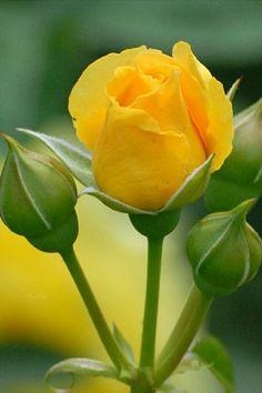 """ very beautiful rose thanks! Beautiful Rose Flowers, Beautiful Flowers, Rose Flower Pictures, Blossom Garden, Flower Wallpaper, Rose Buds, Yellow Flowers, Planting Flowers, Flower Arrangements"