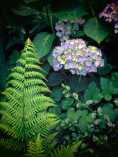 Fern and Hydrangea in our garden.