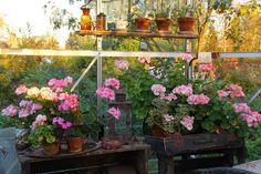 Ruusunmekko garden's greenhouse 'Lataamo' in September 2014