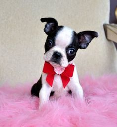 Tiny Toy Boston Terrier Puppy Adorable little Girl lb at 8 weeks! Sold Moving to Panama - Boston terrier love - Puppies Terrier Breeds, Terrier Puppies, Pitbull Terrier, Dog Breeds, Rat Terriers, Baby Boston Terriers, Boston Bull Terrier, Pet Dogs, Dog Cat