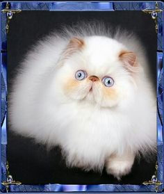 Himalayan Teacup Persian Cats, Persian Kittens, I Love Cats, Crazy Cats, Cool Cats, Beautiful Cat Breeds, Beautiful Cats, Cute Kittens, Cats And Kittens