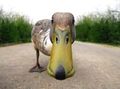 Funny Bird Photo: Curious Duck