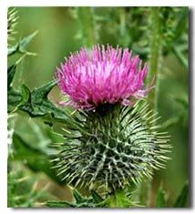 scottish-thistle.jpg (214×235)