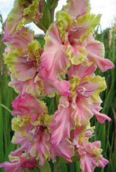 Gladiolus 'Montezuma'