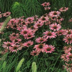 Pflanzen-Kölle Sonnenhut rot, 11 cm Topf.  Der äußerst pflegeleichte, anspruchslose Rote Sonnenhut setzt farbintensive Akzente im Staudenbeet.