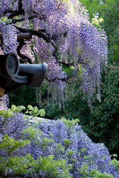 If a tree dies on your property, don't cut it down - plant 3 or 4 wisteria vines around it, and make a wisteria tree...