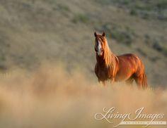 Sunrise Stallion - Fine Art Wild Horse Photograph - Wild Horse - Adobe Town