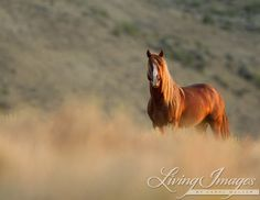 This is a wild stallion in the Adobe Town Herd in southwestern Wyoming. He stands, wary and proud, in the soft morning light from sunrise. Sunrise Stallion print by Fine Art Wild Horse Photograph #horse #wildhorses