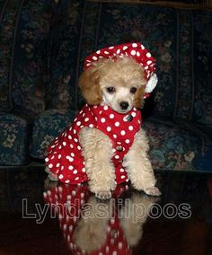 aww makes me miss lelo!!!!!!poodles are the best dogs ever..