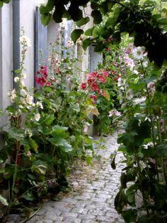 Allée de roses trémières, fleur emblématique de l'île de Ré