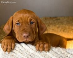 Vizsla puppies are the cutest with their blue eyes & wrinkles.  The blue turns to a rust color to match their coat when they are adults.