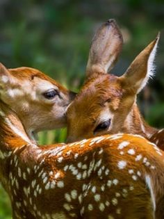 Fawn Twins by Jeff Graham Found on loveandaquestion.tumblr.com