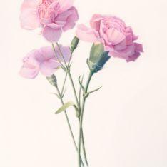 carnation specimen - Google Search