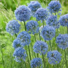 There are but a few true blues to be found among the Ornamental Onions, and they are prized for the cooling effect they have on the exuberance of late spring.