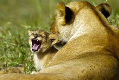 Lioness and her cub.  Picture: Paul Goldstein / Rex Features