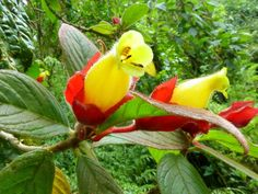 Columnea sp. [Family: Gesneriaceae] - Flickr - Photo Sharing!