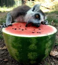 Lemur craving a watermelon. How I feel after a great workout. i am messy and devour food face first.