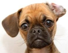 My puggle walks around with flipped ears all the time : )