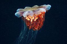 Jellyfish Madness by Alexander Semenov | InspireFirst