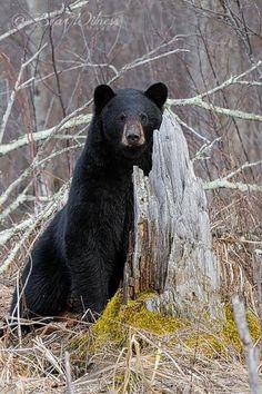 Black bear https://www.pinterest.com/susanwhalley/bear-country/