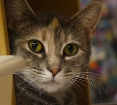 Aries is an adoptable dilute calico searching for a forever family near Wilmington, DE. Use Petfinder to find adoptable pets in your area.