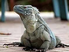 The endangered Blue Iguana has made a comeback since the beginning of an extensive conservation effort in the Cayman Islands, to which it is unique. Note the tag on this animal, one of many to be found in the Royal Botanical Park on Grand Cayman. #Caribbean #Iguana #Cayman