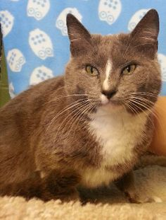 Meet Tori 20233 a Petfinder adoptable Domestic Short Hair Cat   Prattville, AL   Tori is a sweet, 2-year old gray and white female. Tori is timid and a little scared right now, but...