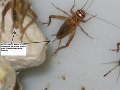 Raising And Breeding Crickets