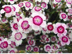 Ketoneilikka Plants
