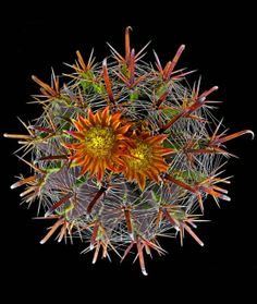 Cactus Ferocactus herrerae is found in the deserts of the southwestern US and Mexico. photo: Richard Reynolds.
