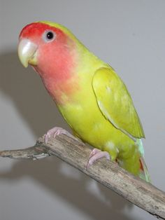 Lovebird - Golden Cherry African Lovebirds, Cute Birds, Parakeets, Parrots, Bird Houses, Beautiful Creatures, Animal Pictures, Charts, Beauty