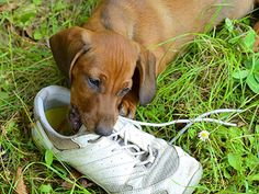 By Jon Bastian It's natural behavior for puppies to bite. As they begin to teethe, they naturally need things to chew on. Also, dogs generally prefer to use their mouths over their paws for ma