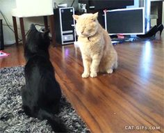Weird cat fight: sneak attack but FAIL, because double knock down More Funny Cat GIFs @ http://www.cat-gifs.com