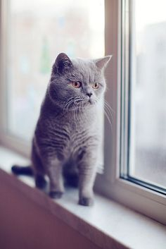 This cat is a French breed - called Chartreux, originally bred by Carthusian Monks many hundreds of years ago. They are great mousers, very friendly, and absolutely a gorgeous blue with copper colored eyes.