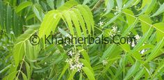 azadirachta-indica health benefits in urdu