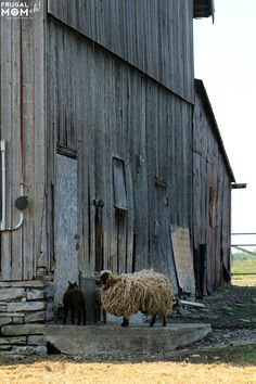 Sheep Farm - 7 Must-See Attractions in Prince Edward County, Ontario - One of Canadas Top Tourist Destinations! Ontario Camping, Prince Edward County Ontario, Kids Attractions, O Canada, Prince Edward Island, Day Trips, Sheep Farm, Honeymoon Ideas, Vacation Ideas