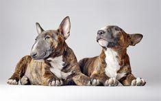 Herunterladen hintergrundbild bull terrier, welpen, haustiere, hunde, niedliche tiere, bull terrier hund
