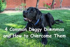 4 Common Doggy Dilemmas and How to Overcome Them – Project Pawsitivity Dog Care, Your Dog, Dog Lovers, Labrador Retriever, Pets, Animals, Labrador Retrievers, Animales, Animaux