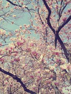 cherry blossoms, I love them. I have taken my girls pictures in the cherry blossom orchards for many years. Chinoiserie, Love Photography, Landscape Photography, Japanese Magnolia, Magnolia Trees, Cherry Tree, Pretty Pictures, Trees To Plant, Wonderful Places