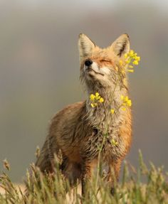 flowers and wild animals | Animals - Favorite Wild Animals - A red fox smelling a flower. Photo ...