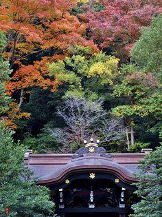 Autumn leaves in Tsurugaoka, Hachimangu, Kamakura-Japan!