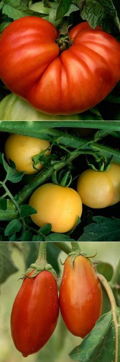 Secrets to growing tomatoes