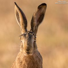 HARE by Max Venturi on 500px