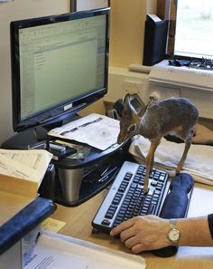 ★♥★ This tiny #doe who's cramping your office style ★♥★    Animal with Serious Boundary Issues